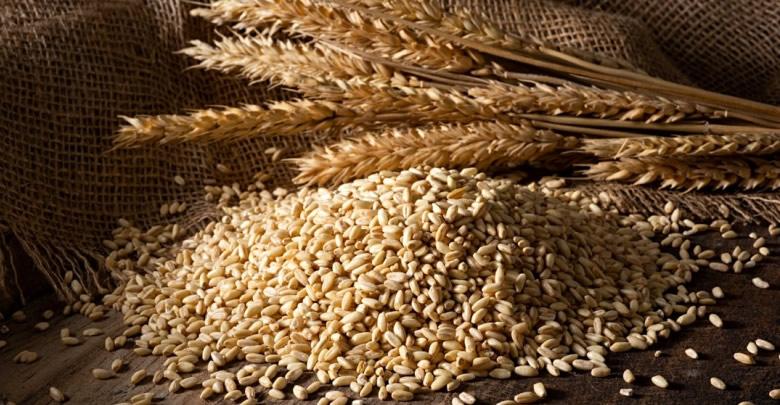 Kuraklığa dayanıklı tohumlara üreticilerin ilgisi yüksek